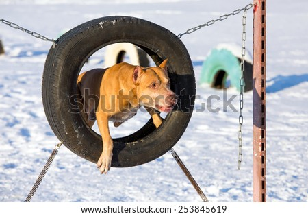 American Pit Bull Terrier at site for dogs jumping through a tire - stock photo