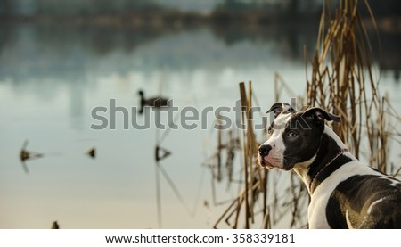 American Pit Bull Terrier by the shore of a pond with ducks - stock photo