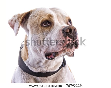 American Pit Bull Terrier head shot looking up to the side isolated on white background