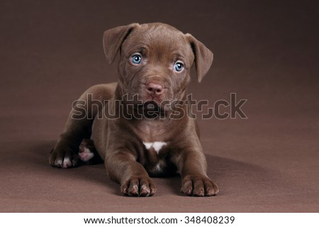 American Pit Bull Terrier little puppy on a brown background - stock photo