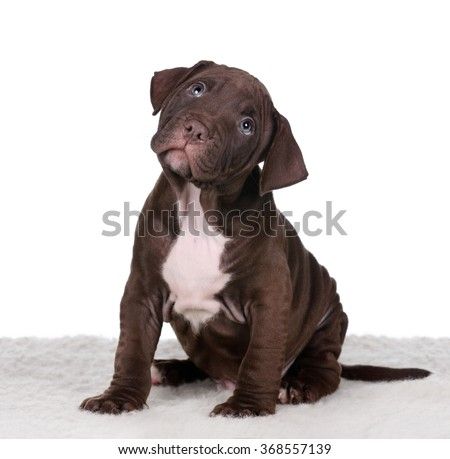 American Pit Bull Terrier puppy sitting on a white background, looking up