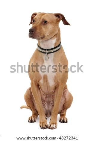 American Pit Bull Terrier, 4 years old, sitting in front of white background