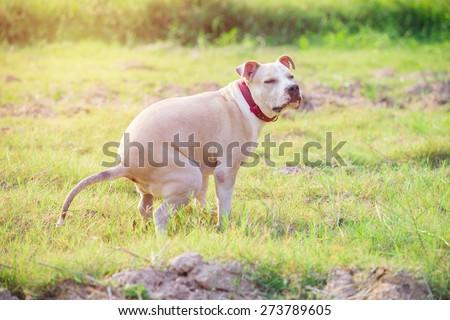 American Pitbull puppy shit  on grass field - stock photo