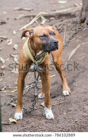 american pitbull terrier was wearing a collar and was pulled wit