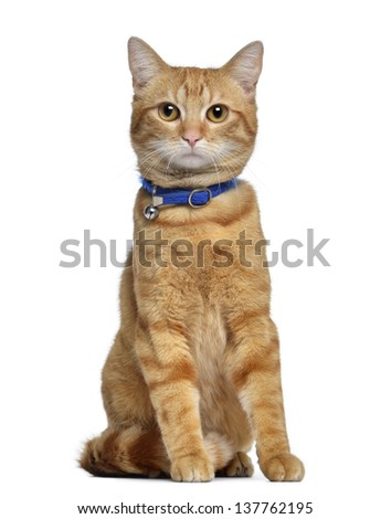American polydactyl, 1 year old, sitting, isolated on white - stock photo