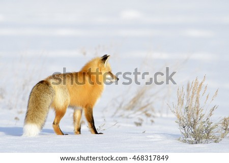 American Red Fox (Vulpes vulpes fulva) adult, hunting in snow, Yellowstone national park , Wyoming, USA.