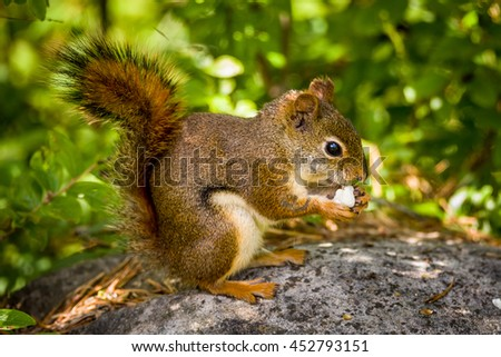 American red squirrel eating popcorn sitting on a big, gray rock - stock photo