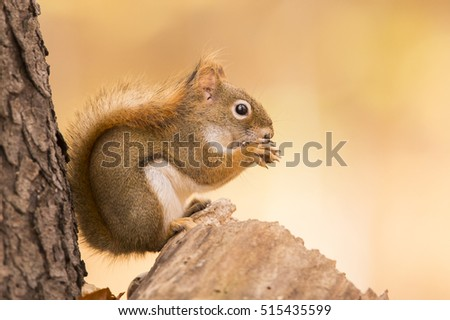 American red squirrel in autumn light