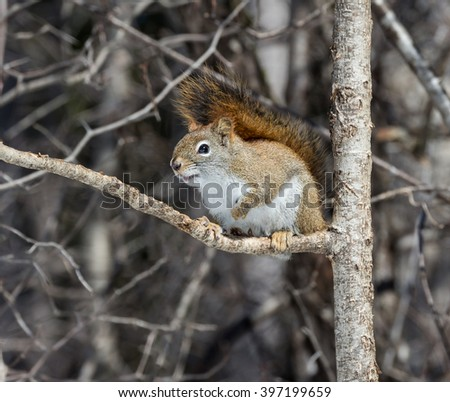 American Red Squirrel in Early Spring - stock photo