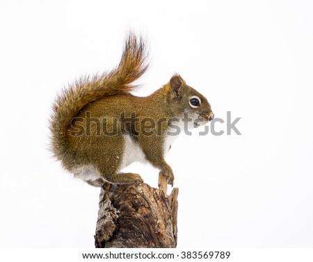American Red Squirrel Portrait in Winter - stock photo