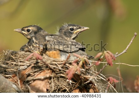 American Robin babies in nest - stock photo
