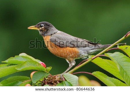 American Robin in a Cherry Tree