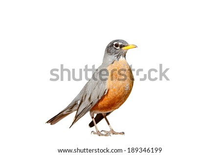 American robin isolated on a white background. - stock photo