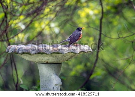 American Robin perched in the sunlight on an old rustic bird bath outdoors during Springtime - stock photo