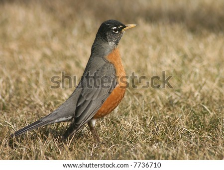 American Robin (Turdus migratorius) - stock photo