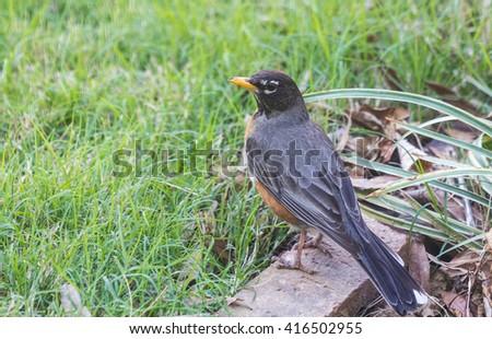 American Robin (Turdus migratorius) closeup. - stock photo