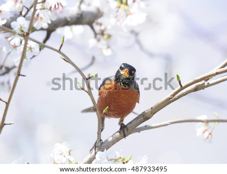 American robin, turdus migratorius, perched in blooming Japanese cherry tree