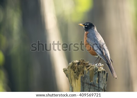 American robin (Turdus migratorius) perching on a wooden fencepost in Canada - stock photo