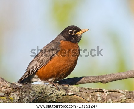 American Robin (Turdus migratorius) sitting on a tree, looking with curiosity at the camera ready to fly away