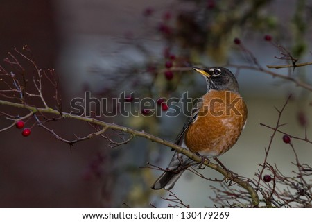 American Robin (Turdus migratorius).  The American Robin or North American Robin is a migratory songbird of the thrush family.