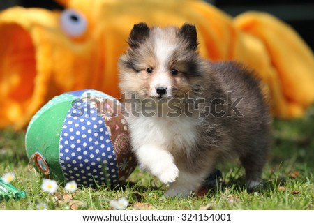 American Shetland Sheepdog puppy - stock photo