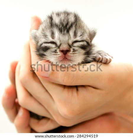 American short hair cat kitten is in the hands of the owner.isolated on white background - stock photo