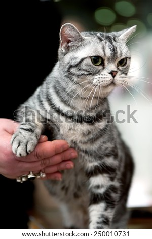american short hair cat portrait at cat show  - stock photo