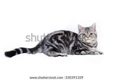 American Short Hair Kitten - stock photo