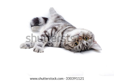 American Short Hair Kitten - stock photo