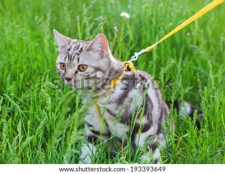 American Shorthair Cat - stock photo