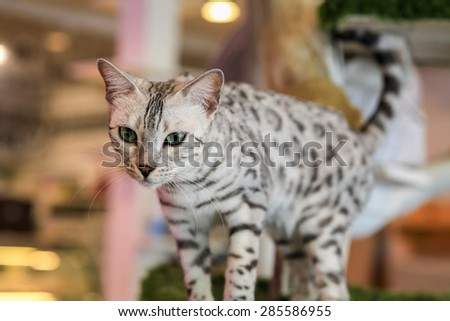 American Shorthair Cat is walking in a living room. - stock photo