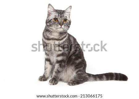 american shorthair kitten - stock photo