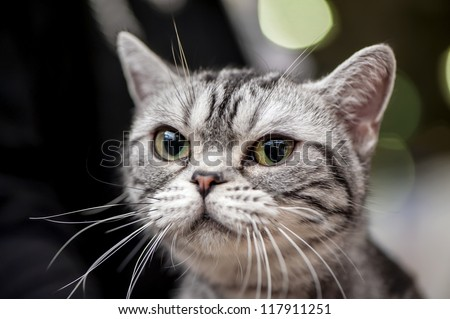 American Shorthair (Working) cat close-up portrait at cat show with blurred lights on background - stock photo