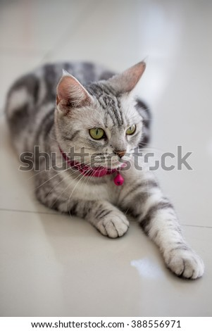 American shot hair cat lying on the floor