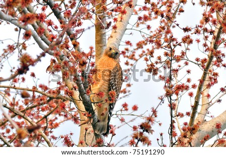 American Southern Bald Eagle Hanging on a Tree - stock photo