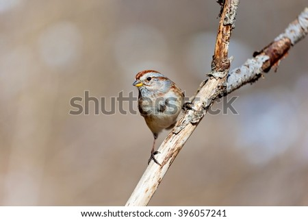 American Sparrow in a forest in Quebec. - stock photo
