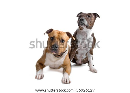 american stafford and english stafford dog isolated on a white background