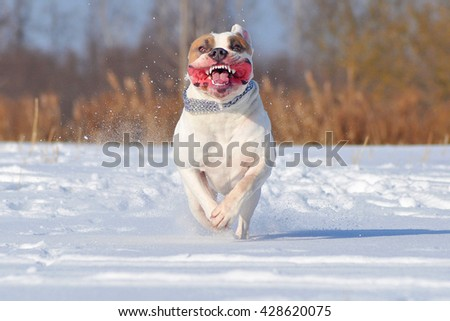 American Stafford shire Terrier in the winter