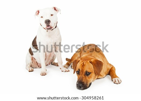 American Staffordshire and Large Mixed Breed Dogs sitting and laying together.  One dog is looking forward the other is laying on the floor.  - stock photo