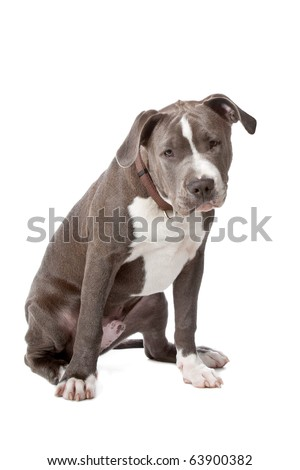 american staffordshire bull terrier isolated on a white background - stock photo