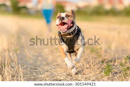 American Staffordshire Terrier dog in run - stock photo