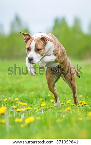American staffordshire terrier dog jumping on the field with dandelions - stock photo