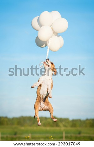 American staffordshire terrier dog jumps in the air to catch flying balloons - stock photo