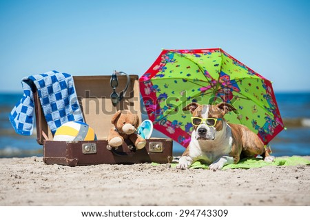 American staffordshire terrier dog  lying on the beach near a suitcase full of things for summer holiday - stock photo