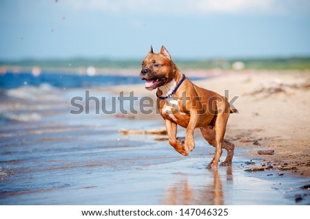 american staffordshire terrier dog on the beach - stock photo