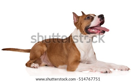 american staffordshire terrier dog on white
