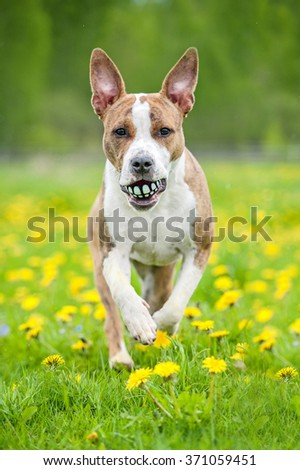 American staffordshire terrier dog playing with a funny ball - stock photo