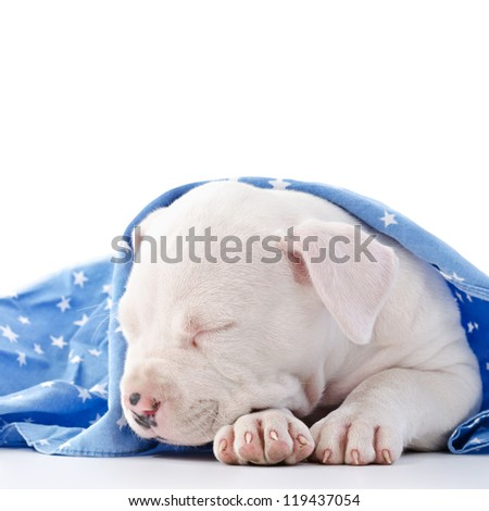 American Staffordshire Terrier Dog Puppy covered with blue starry blanket, sleeping, head closeup