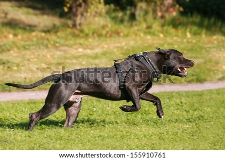 American Staffordshire Terrier dog running - stock photo