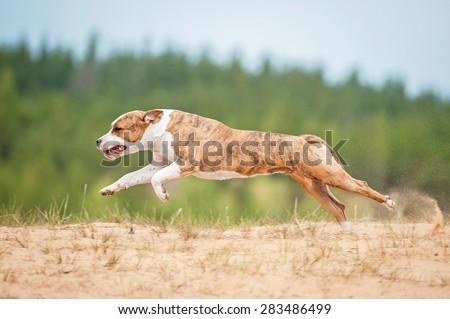 American staffordshire terrier dog running  - stock photo